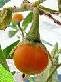 Bonariense Solanum-fruto-1.JPG