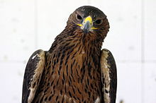 Bonellis Hawk Eagle 2.JPG