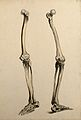 Bones of the leg and foot. Ink and watercolour, 1830-1835?, Wellcome V0008214ER.jpg