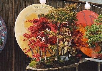 Bonsai acer palmatum.jpg