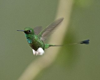 White-booted racket-tail Species of bird
