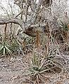Bottlebrush Aloes (Aloe spicata) (32478467096).jpg