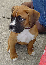 Image Result For Baby Boxer Dog