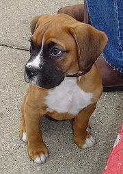 Filhote de Boxer, 3 meses de idade, com orelhas naturais