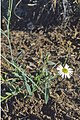 Brachyscome basaltica flower & foliage.jpg