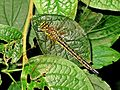 Brachytron pratense (Hairy Dragonfly) female, Arnhem, the Netherlands - 2.jpg