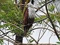 Brahminy kite (Haliastur indus)കൃഷ്ണപ്പരുന്ത് 2.jpg