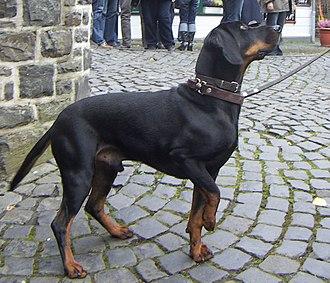 Austrian Black and Tan Hound - Austrian Black and Tan Hound.