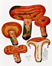 Ciuperci Rascovi, Lactarius Deliciosus