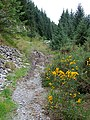 Bridleway with gorse, Tywi Forest, Powys - geograph.org.uk - 1529803.jpg