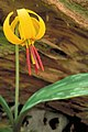 Bright yellow trout lily erythronium americanum nodding bloom with red stamen.jpg