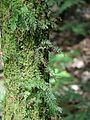 Brindle Creek epiphytic fern Hymenophyllaceae.jpg
