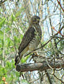 Broad-winged Hawk Seney NWR 1.jpg