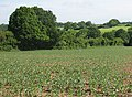 Broad bean crop - geograph.org.uk - 1335427.jpg