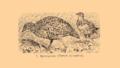 Brockhaus and Efron Encyclopedic Dictionary b33 074-0- 7 - Turnix Sylvatica.png