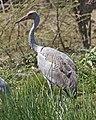 Brolga (Grus rubicunda) - Flickr - Lip Kee (1).jpg