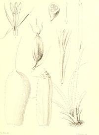 Bromeliaceae andreanae - description et histoire des broméliacées récoltées dans la Colombie, l'Ecuador et le Venezuela (1889) (19796544294).jpg