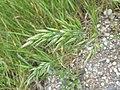 Bromus hordeaceus subsp. hordeaceus sl26.jpg