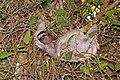 Brown-throated sloth (Bradypus variegatus) female 2.jpg