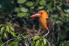 Brown-winged kingfisher, Sundarbans