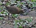 Brown Crake (Amaurornis akool) near Hodal, Haryana W IMG 6384.jpg