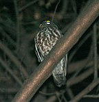 Brown Hawk Owl (Ninox scutulata) at Samsing, Duars, West Bengal W IMG 5936.jpg