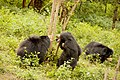 Brown bears at Bannerghatta National Park, Bangalore, India in 2014.jpg