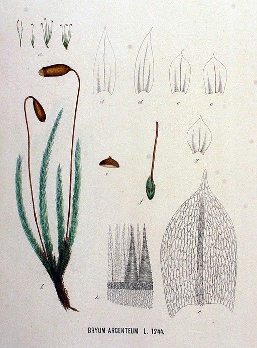 Bryum argenteum — Flora Batava — Volume v16