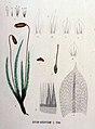 Bryum argenteum — Flora Batava — Volume v16.jpg