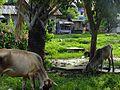 Buaya, Lapu-Lapu City, Cebu, Philippines DSCF6649.jpg