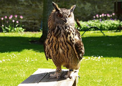A Eurasian Eagle-owl at a falconry exhibition at Dunrobin Castle, Scotland