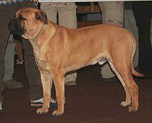 Bullmastiff Wikipedia