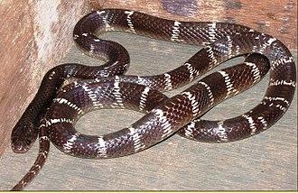 Venomous snake - Image: Bungarus caerulus