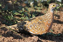 Burchell's sandgrouse, Pterocles burchelli, at Mapungubwe National Park, Limpopo, South Africa (17952265026).jpg