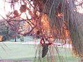 Burning Pine Tree (5352113458).jpg
