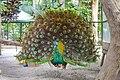 Burung Merak di Kebun Binatang Siantar, Sumatera Utara.jpg