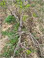 Bush vine Uzbekistan 01.jpg