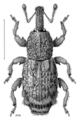 COLE Curculionidae Bantiades rectalis.png
