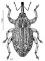 COLE Curculionidae Hadracalles fuliginosus.png