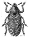 COLE Curculionidae Rhinocyllus conicus.png