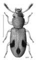 COLE Salpingidae Salpingus bilunatus.png