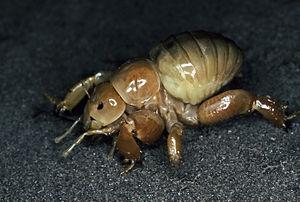 Ensifera - A Cooloola monster, a subterranean family from Queensland, Australia