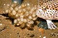 CSIRO ScienceImage 2597 Female Spotted Handfish.jpg