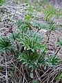 Cacaliopsis nardosmia leaves emerging in spring.jpg