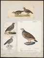 Caccabis petrosa - 1700-1880 - Print - Iconographia Zoologica - Special Collections University of Amsterdam - UBA01 IZ17100307.tif
