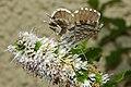 Cacyreus marshalli 02 by-dpc.jpg