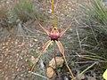 Caladenia pectinata (02).jpg