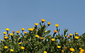 Calendula arvensis 01.jpg