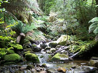 Tasmanian temperate rainforests - Callidendrous forest at streams edge at Growling Swallet
