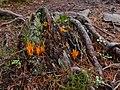 Calocera viscosa 104854837.jpg